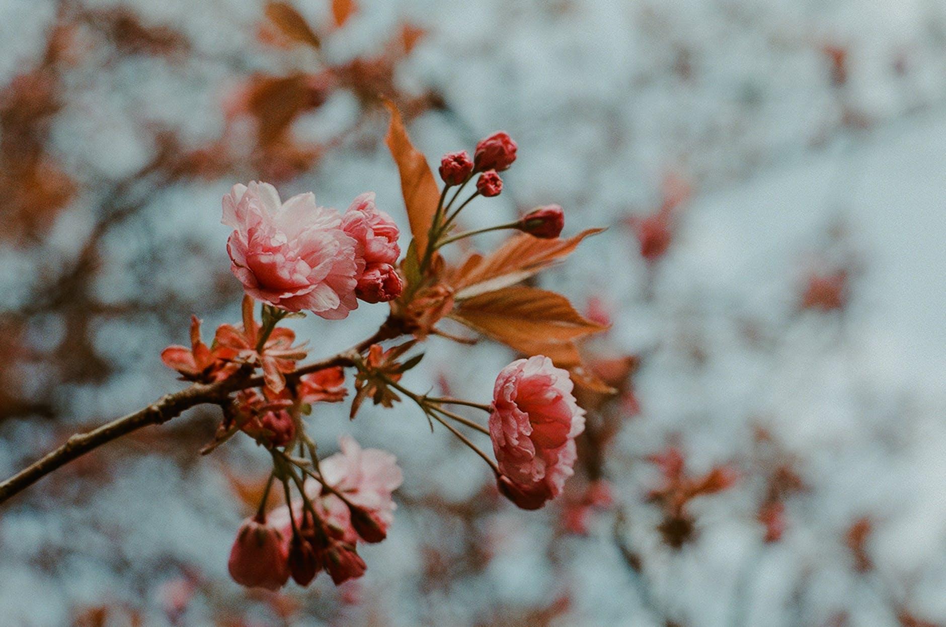pink petaled flower in bloom